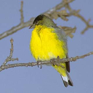 bird names associated with thomas say