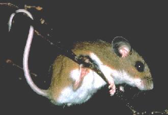 [img]http://faculty.evansville.edu/ck6/bstud/mouse.jpg[/img]